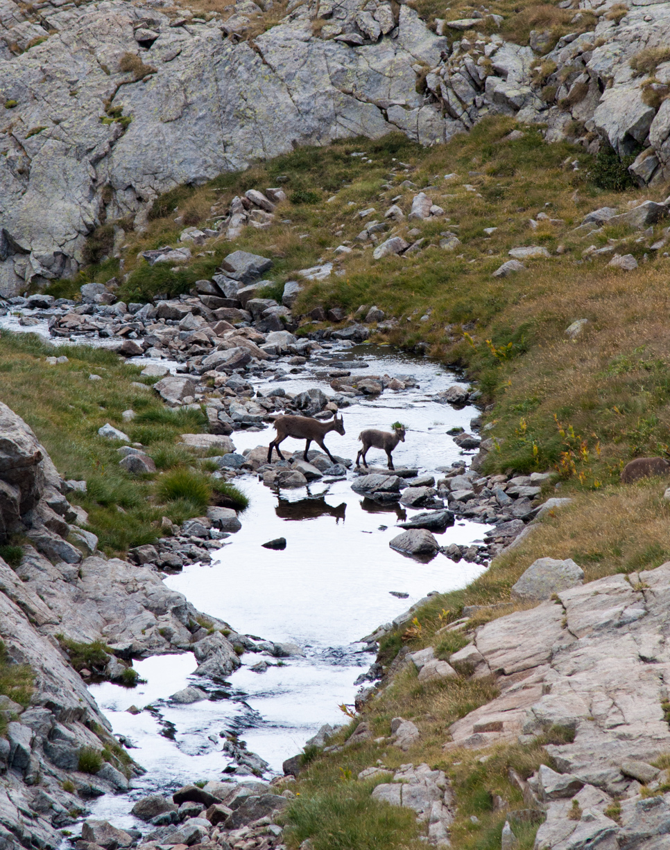 Bouquetins qui traversent le ruisseau