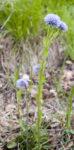Globulaire ponctuée (Globularia bisnagarica)