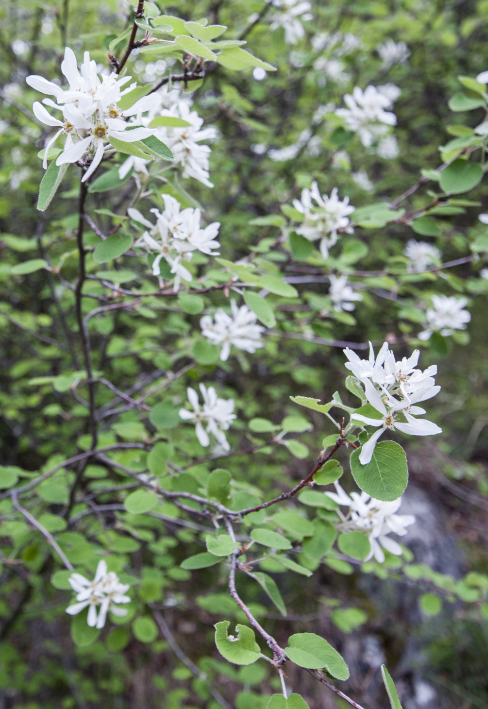 Amélanchiers à feuilles ovales (Amelanchier ovalis)