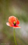Flore - Papaver Dubium